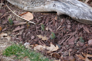 Four (or 5?) tulips peeking out.
