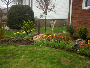 My first season of tulips and daffodils in bloom :)