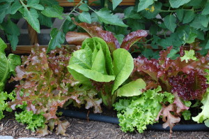 Lettuce - All Star Mix - has been great in our salads.