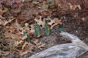 These first daffodils of 2015 peek out, despite the snow flurries today.  Spring must be near!